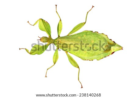 Walking stick insect - leaf insect (Phyllium giganteum) isolated on white - stock photo