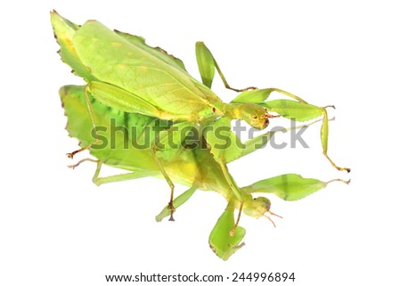 Walking stick insect - leaf insect (Phyllium giganteum) with mirror reflection isolated on white  - stock photo