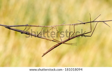 Walking stick, Phasmatodea. Insect photographed in their natural habitat - stock photo