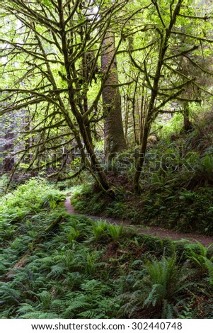 walking trail in a green lush forest of northern California