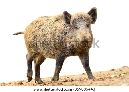 walking wild boar ( Sus scrofa ) isolated over white background
