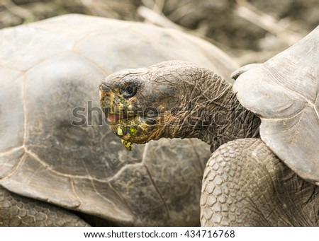 Walking Wild Galapagos Tortoises (Chelonoidis Nigra)  - stock photo