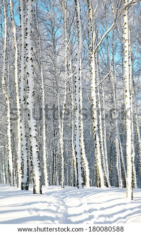 Walkway in sunny birch forest in January - stock photo