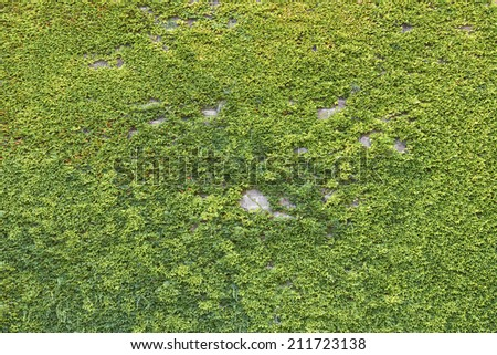 Wall covered with ivy - stock photo