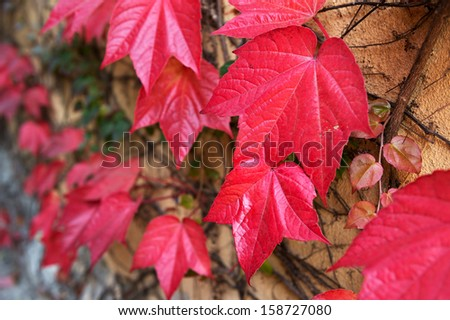 Wall covered with red ivy leafs (Parthenocissus tricuspidata Veitchii) - stock photo