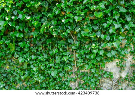 Wall covered with twine plant. Background, texture, wallpaper - stock photo