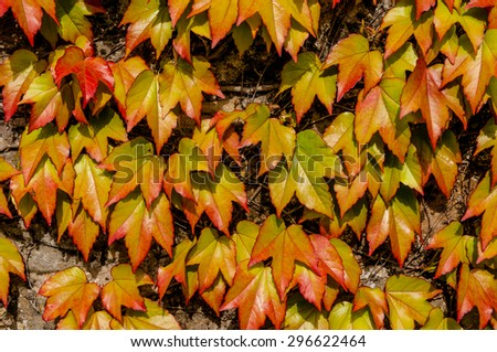 Wall ivy in vibrant autumn colours. - stock photo
