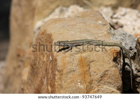 wall lizard sunbathing on a wall - stock photo
