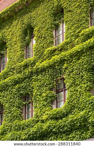 Wall of a  Wroclaw museum building  covered with ivy