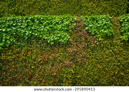 Wall of fresh green leaves