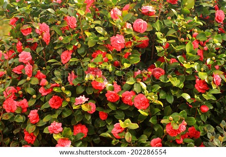 Wall of the blooming camellias in a garden - stock photo
