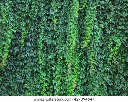 wall with green leaves of a climbing plant wendland germany europe - Climbing Plants