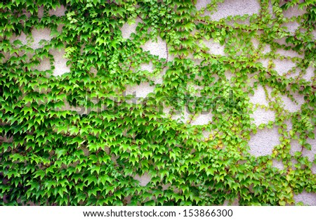 wall with ivy growing on it