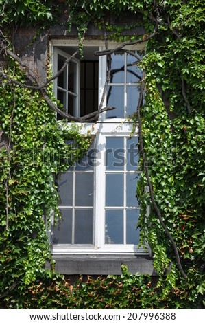 Wall with window covered with old green ivy