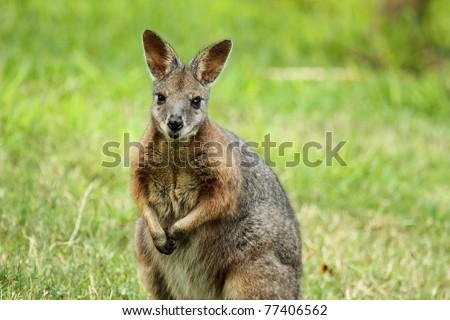 Wallaby looking at camera sitting up - stock photo