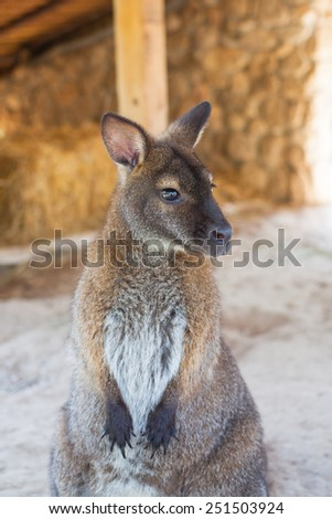 wallaby, small kangaroo - stock photo