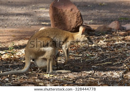 Wallaby with a joey in its pouch, Nitmiluk National Park, Australia - stock photo