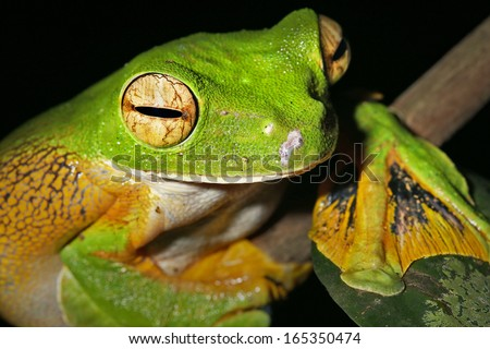 Wallace's or Abah River Flying Frog (Rhacophorus nigropalmatus) perches & watches in the rain forests of Malaysian Borneo. Large webbed feet allow frog to glide long distances through the air. Female. - stock photo