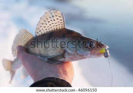 Walleye bit the jig lure in calm winter evening - stock photo