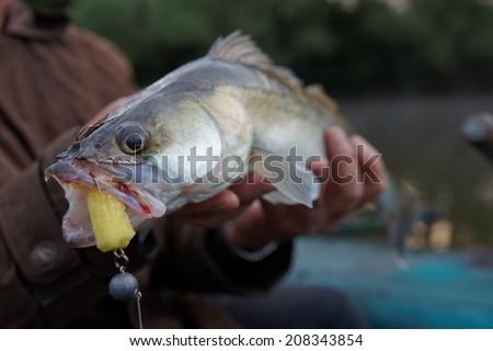 Walleye caught on handmade jig lure  in fisherman's hand - stock photo