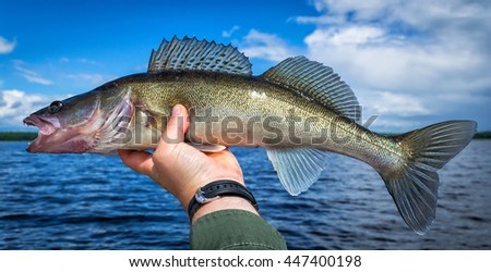 Walleye fishing trophy in panoramic view - stock photo