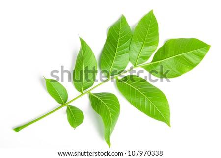 Walnut leaf - stock photo