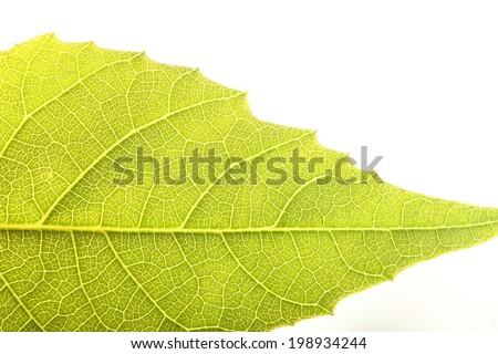 walnut leaf isolated on white nature - stock photo