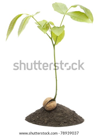 Walnut tree isolated on white