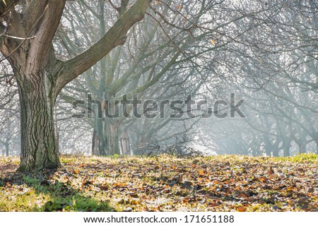 walnut wood in the fog - stock photo