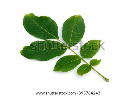 Walnuts' leaves - isolated on white