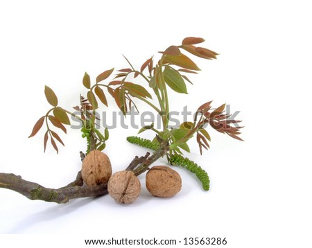 Walnuts - plum and bush isolated on a white background.