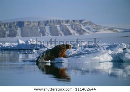 Walrus climbing up on an ice floe - stock photo