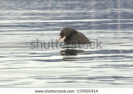 Walrus coming up for air in the Arctic - stock photo