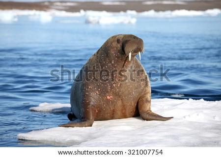 Walrus cow on ice floe - stock photo