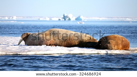 Walrus cow with cub on ice floe  - stock photo