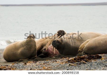Walrus Family - Svalbard - stock photo