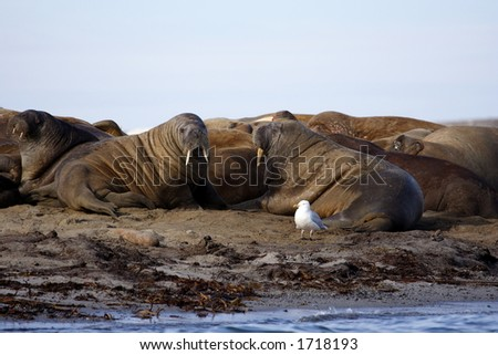 Walrus haul out