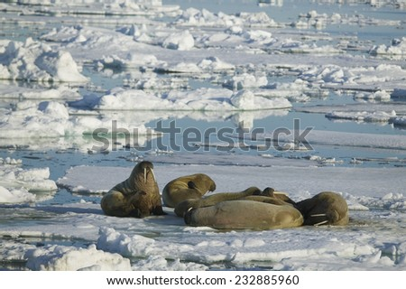 Walrus Lounging on an Ice Floe - stock photo