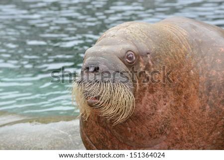 Walrus (Odobenus rosmarus) in Zoo - stock photo