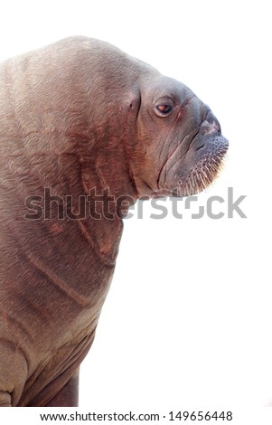 walrus portrait isolated over white - stock photo