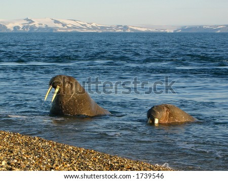 Walrus viewing tourists on a beach in the Arctic Circle - stock photo