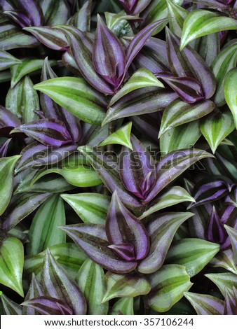 Wandering jew stock images royalty free images vectors shutterstock - Wandering jew plant name ...