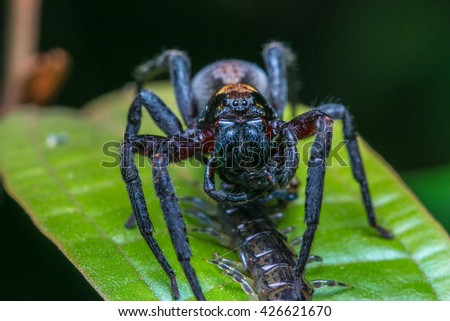 Wandering Spider with prey  - stock photo