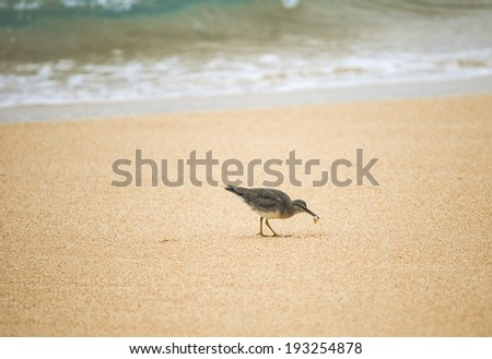 Wandering Tattler with tiny crab in its beak walks on the beach in Kauai, Hawaii, next to the surf. - stock photo