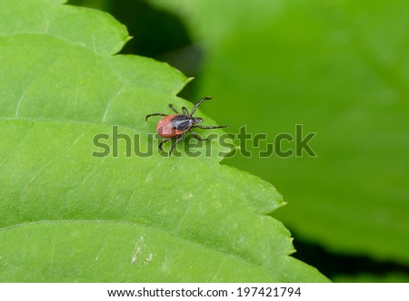 wandering tick on leaf - stock photo