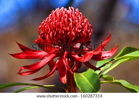 Waratah blooms in bushland under the spring sunshine  in NSW, Australia - stock photo