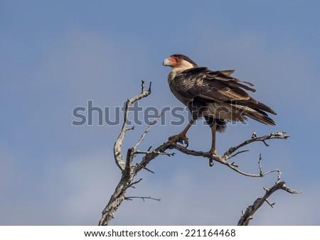 Warawara bird of prey  christoffel park and Seru Gracia Curacao a Caribbean island in the Dutch Antilles - stock photo