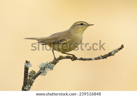 Warbler, (Phylloscopus trochilus), perched on a branch on a yellow background - stock photo