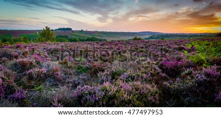 warm glow at sunrise on heathland and colorful purple heather