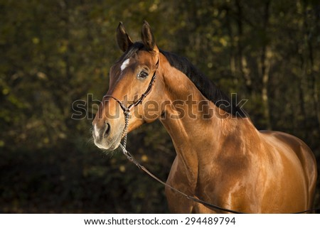 Warmblood Chestnut in Portrait